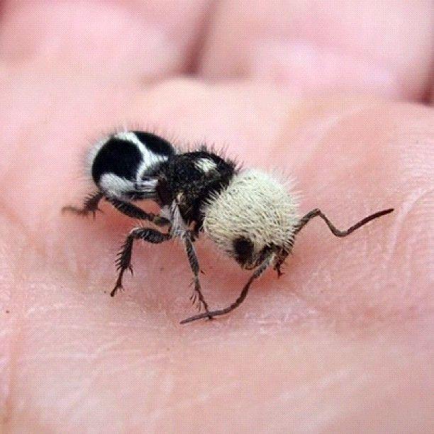Los mutílidos (Mutillidae)
