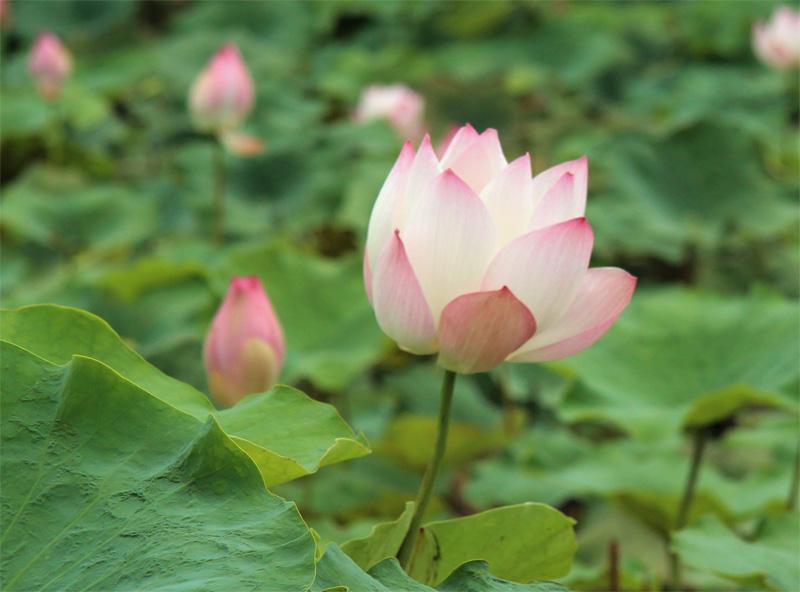 lotos-flower