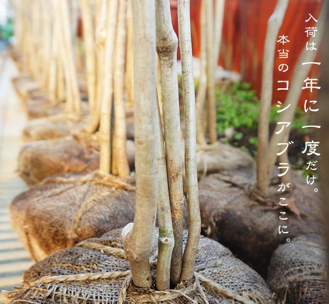 根巻き苗を包んでいるのは麻布は取らずに植える。