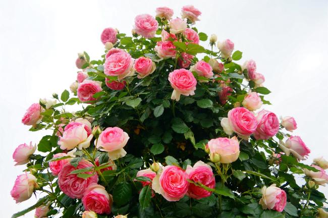 つるバラの剪定方法と、植え替えについて