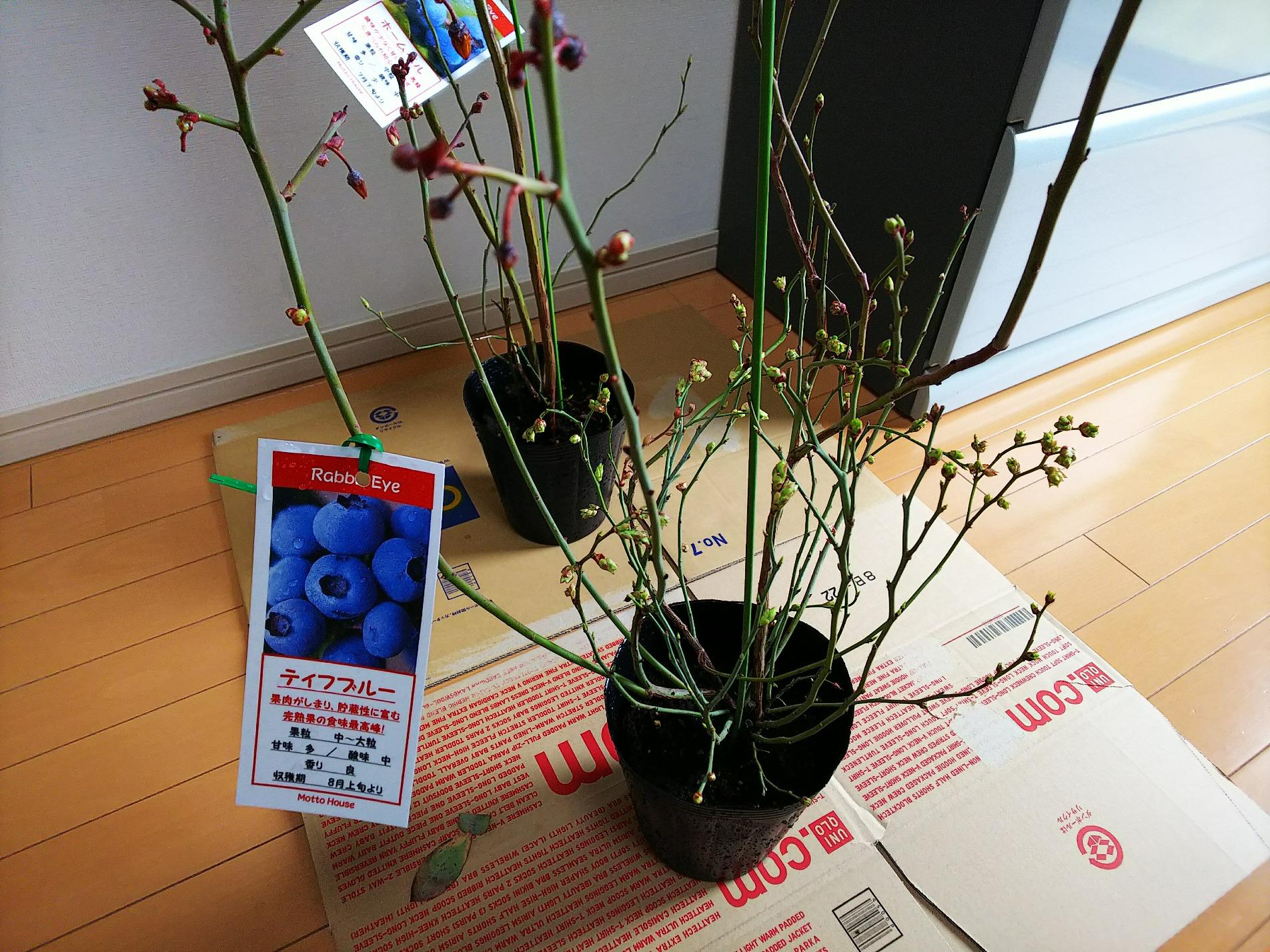 ブルーベリーで植物栽培デビューです。