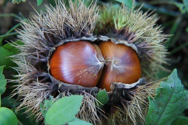 栗の植え付け間隔はどれくらいですか?