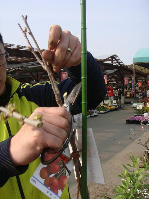 果樹の主幹を短く切る理由