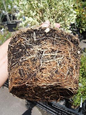 土を落として植えるのですか?