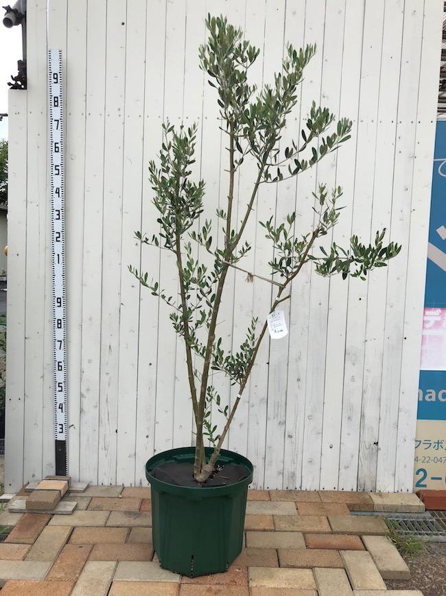 枯れはじめたオリーブの木の再生方法。