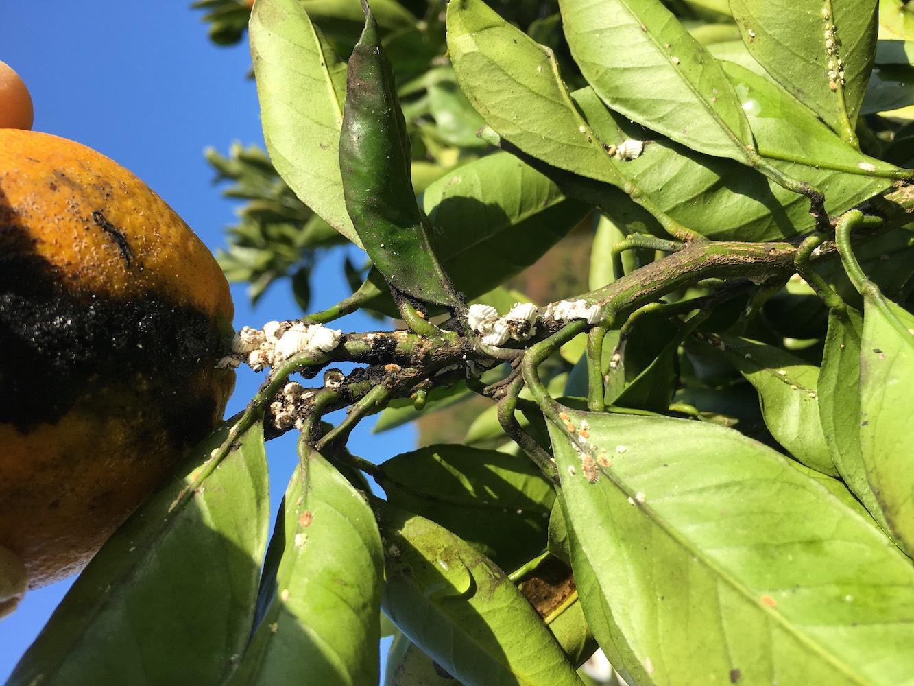 みかんの木につくカイガラムシとすす病