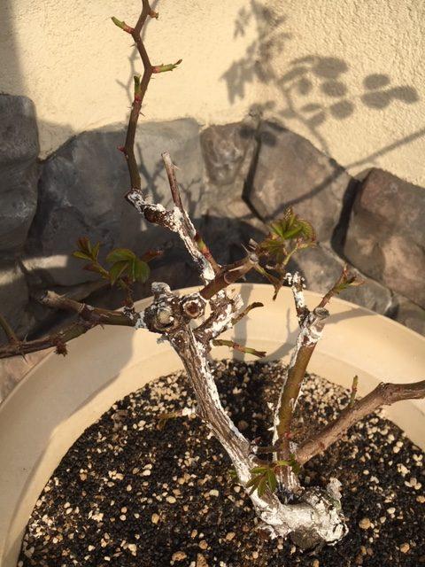 バラの枝に白い粉が。病気かな?