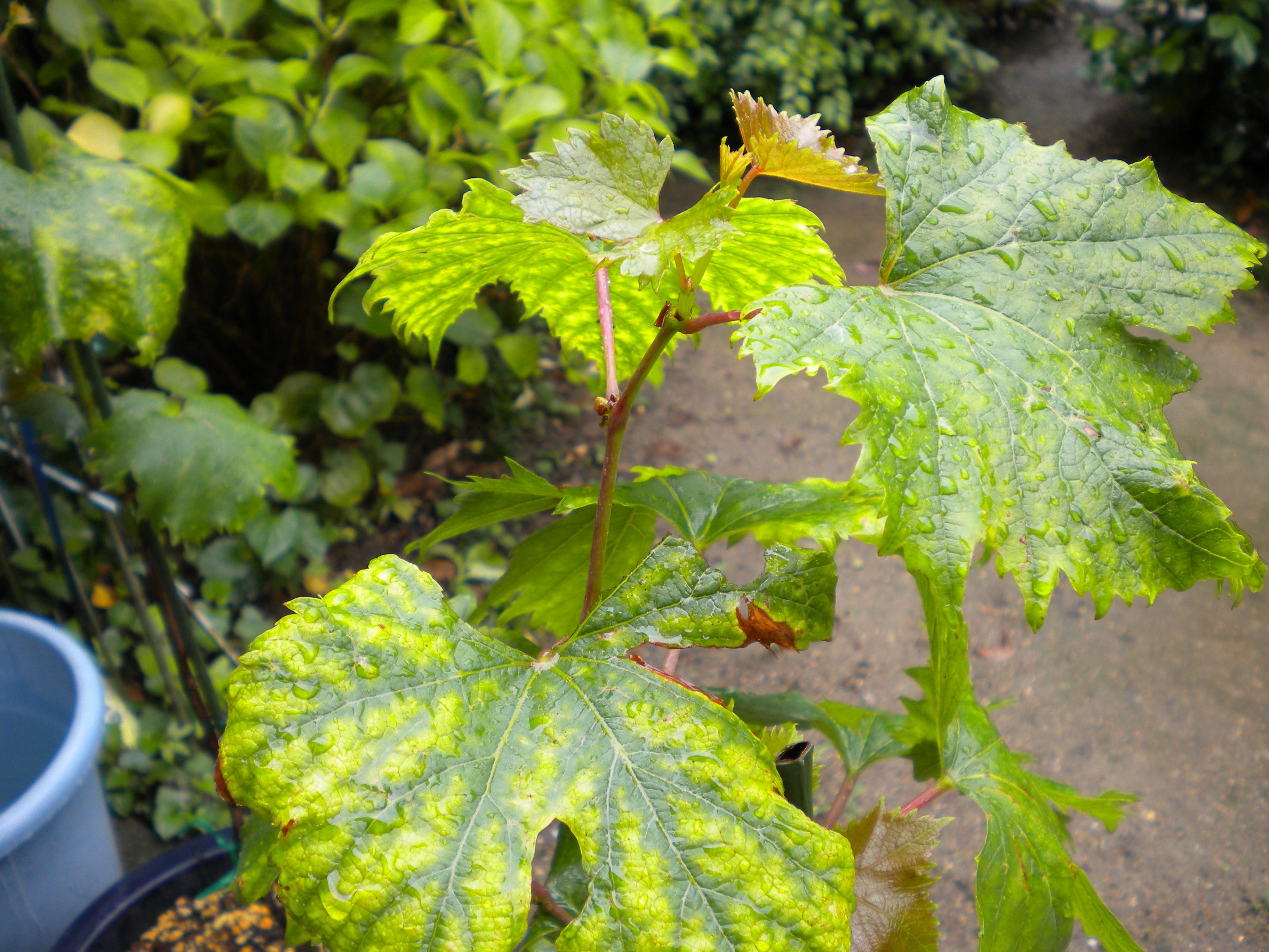 ぶどうの葉が黄色くなるマグネシウム欠乏症
