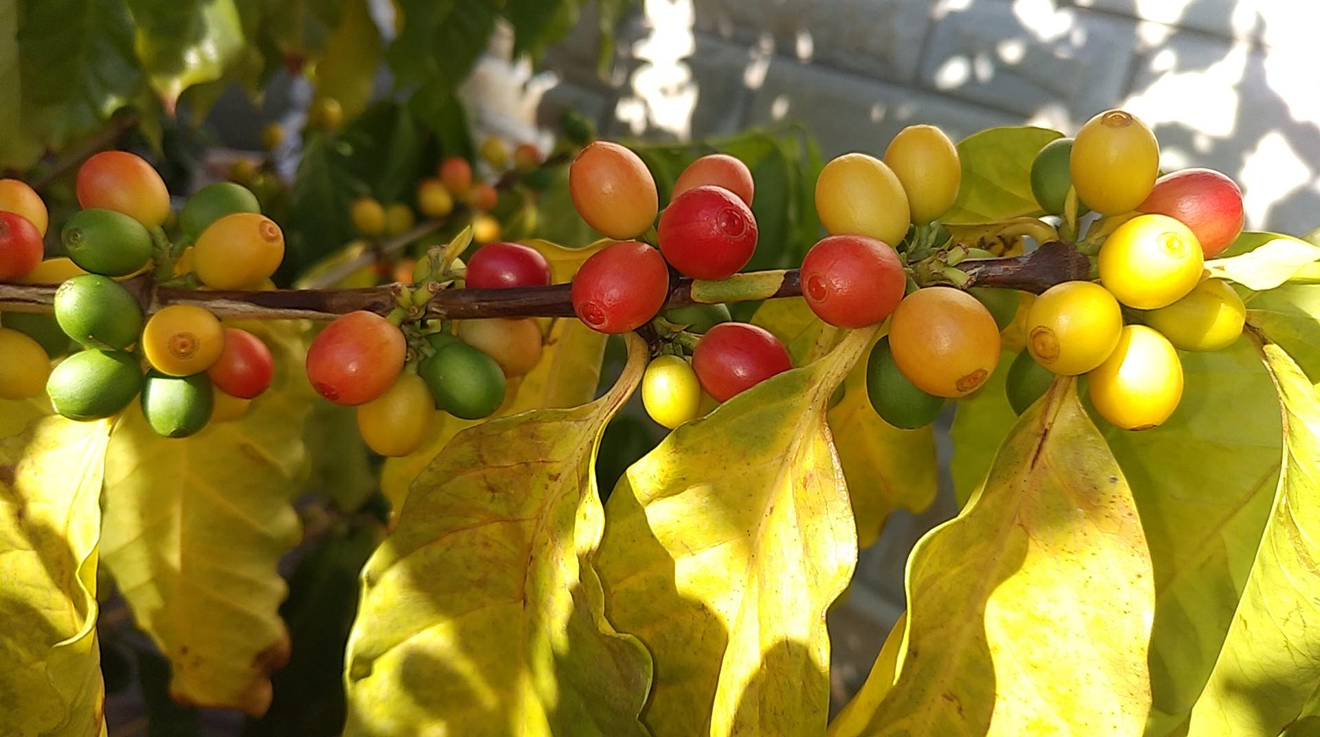 コーヒーの木の葉が黄色くなる