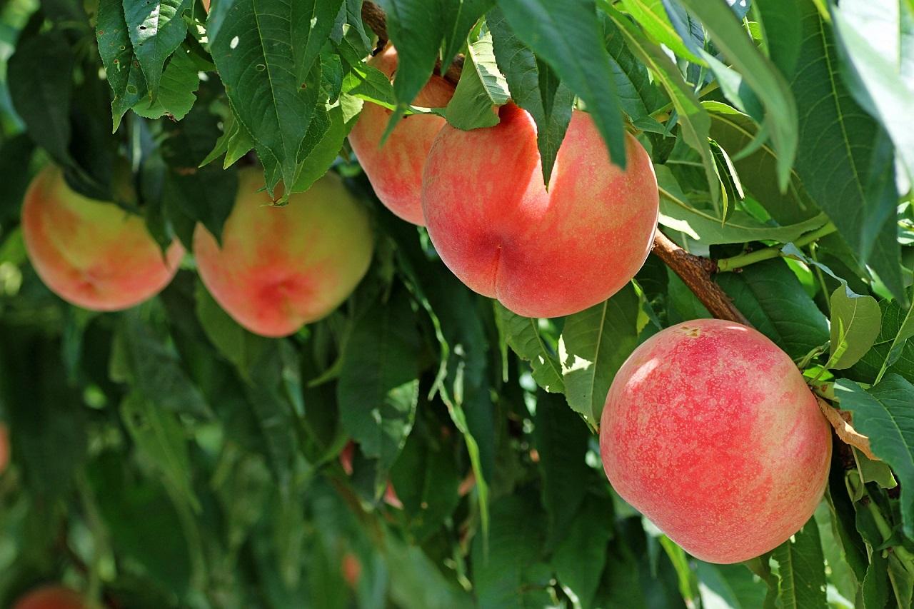 モモ、ナシ、リンゴなど素人がつくりづらい樹種のなかでも、挑戦しやすい品種?【苗木部通信 第091号】