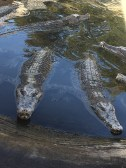 Crocodies at Beppu Hells