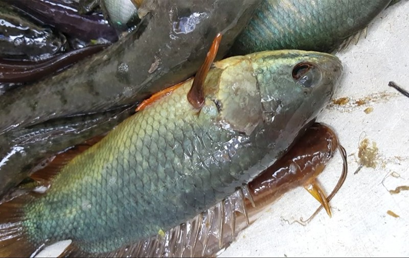 Formalin suspected in local fish also