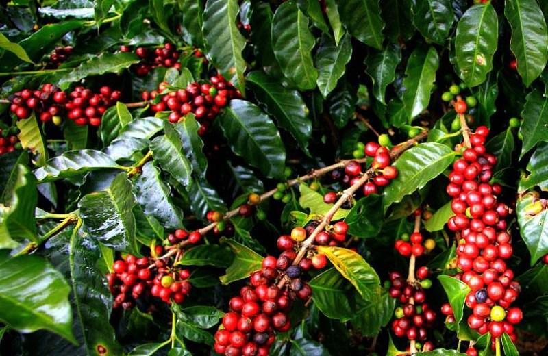 Coffee revolution in Nagaland — Kohima ahead