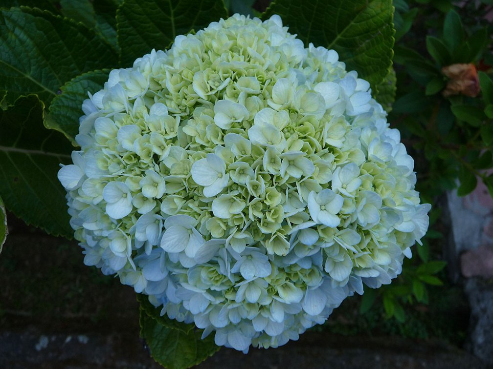Hydrangeas are prized for Balinese offerings