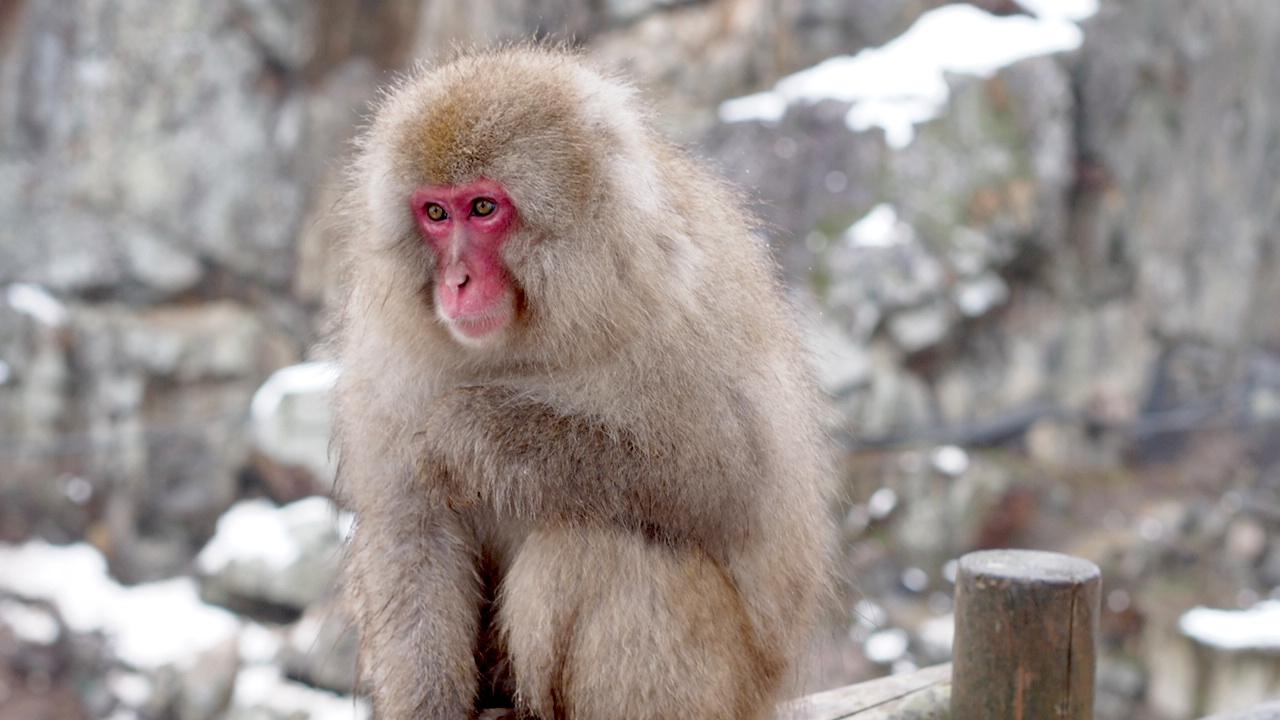 Snow monkey in yamanouchi town in nagano