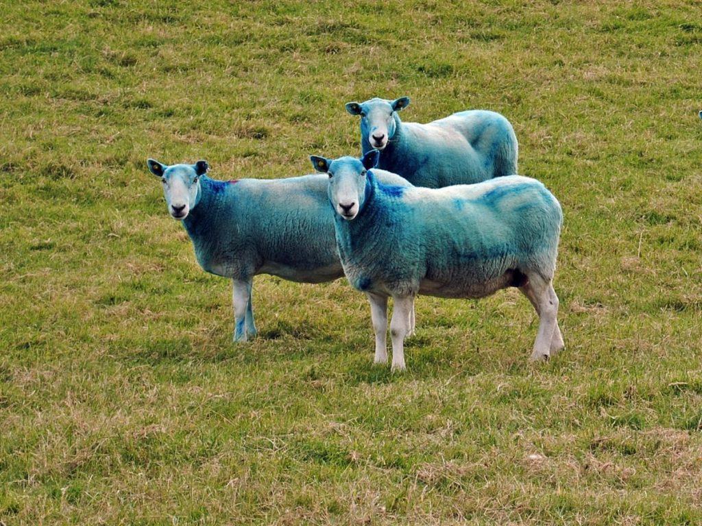 Niebieskie owce.
