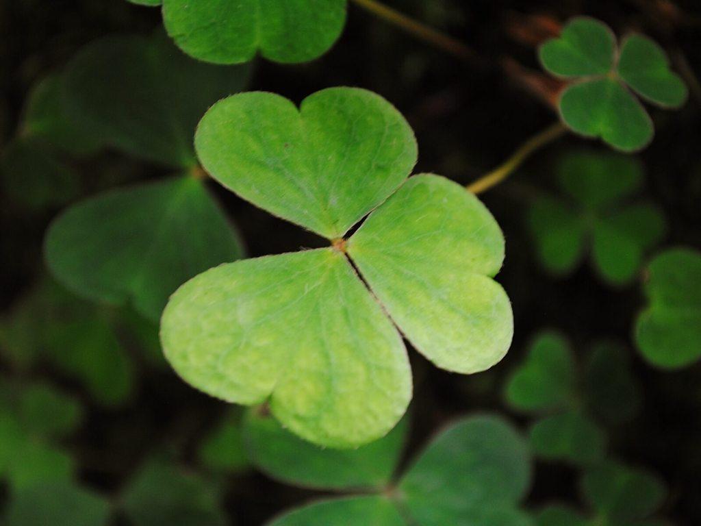 Zielona koniczyna jest symbolem Irlandii.