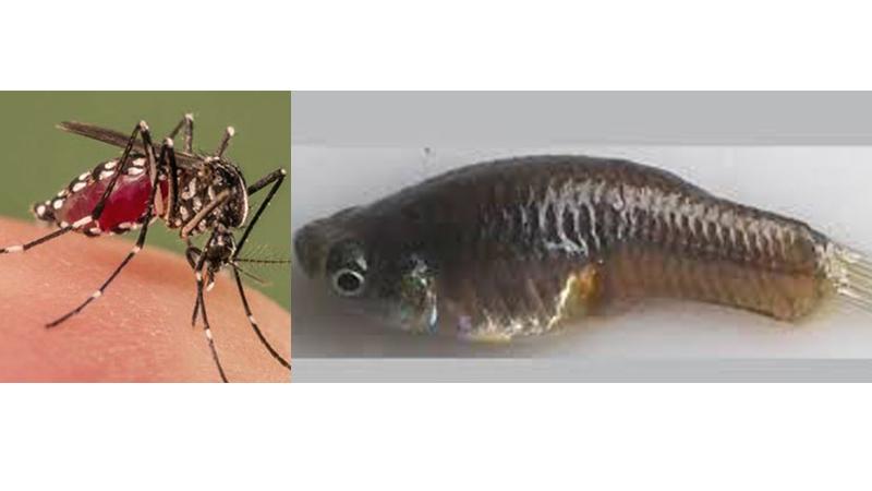 ডেঙ্গু কমাতে ৮ হাজার 'মশাভুক মাছ' অবমুক্ত
