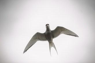 Ebenfalls regelmäßig schimpfend über unseren Köpfen: Arctic Terns (dt.: Küstenseeschwalbe)