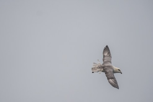 Eine weitere Gefahr ging von den Fulmars (dt. Eissturmvogel) aus - aber nicht von den erwachsenen, höchst eleganten Vögeln...