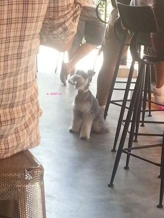 A Schnauzer in Park Cafe