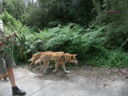 Keepers walking Dingo