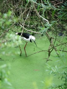 A bird with long legs standing in water