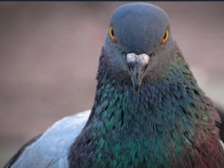 India : Police arrest pigeon for being Pakistan spy