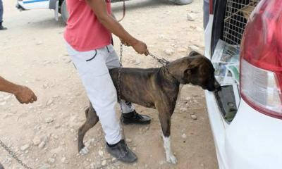 Bolo the Pitbull who alledgedly killed a girl in Calitzdorp