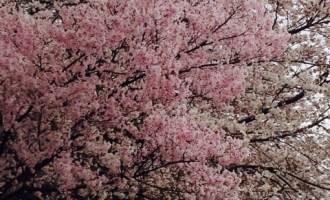 ネイリストの求人情報 東京版 桜