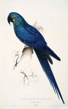 Edward Lear - Macrocercus hyacinthinus