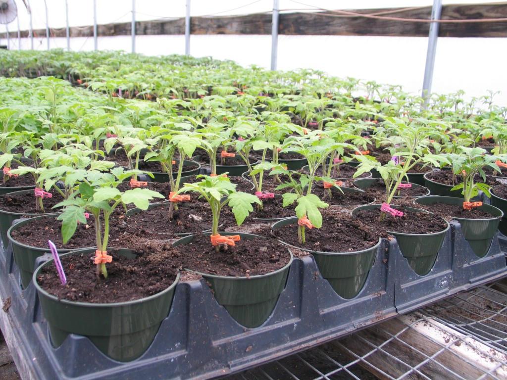 grafted tomato seedlings for Tomato Farming