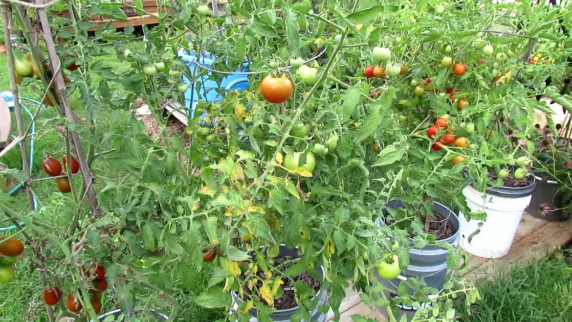 tomato disease in Tomato Farming