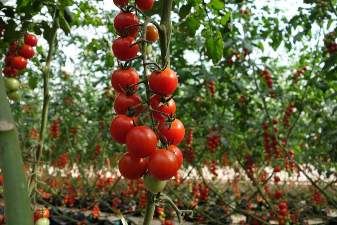 tomato plant ready for harvest after Tomato Farming