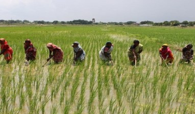 CBN Will Assist  Over 60,000 Rice Farmers Through Its Anchor Borrowers Programme.