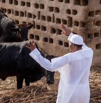 President Buhari and his cattle in Daura