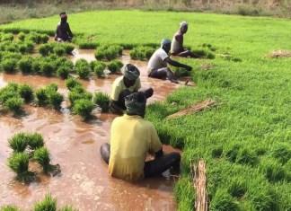 Poor Africandemand pullsIndian rice price