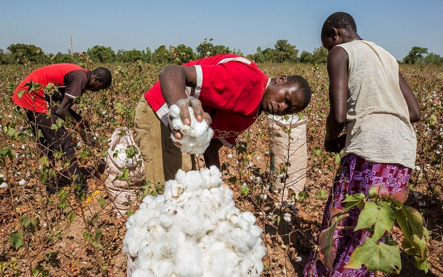 Cotton producers move to recover N4 billion CBN loan, Anchor BorrowerProgramme: Cotton farmers expected to pay bank N5.2 billion