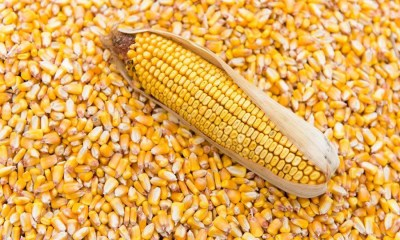 Premier Feeds, Crown Flour and 2 others import 262,000MT of Maize