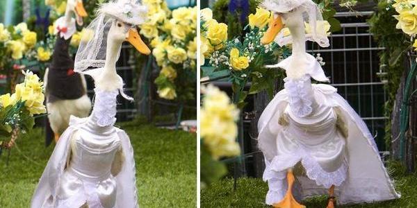 オーストラリアで毎年開催されている「アヒルのファッションショー」が可愛いw