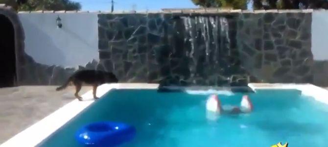 これが「犬は人類の最高の友達」といわれる理由!溺れている人を身を挺して助ける犬!