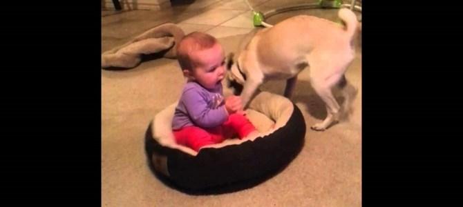 赤ちゃんにベットを取られた犬「ぼくのベットだよ!」