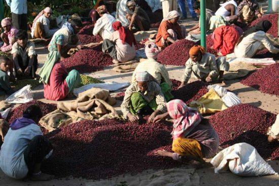 Manual-Sorting-of-Coffee-Cherries