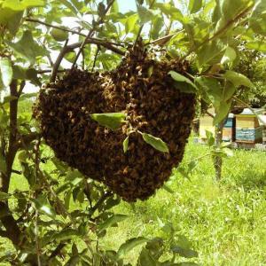 """""""Čebele se od drugih žuželk ločijo po tem, da je v njih nekaj božanskega."""" - Aristoteles"""
