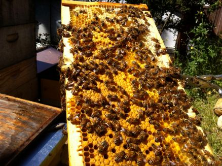 "This one has more honey. There's actually a lot going on here. Some workers are building a new cell for the queen. It is on the left, perpendicular to rest of the comb cells. It will be filled with royal jelly for her. In the foreground are cells filled with something called ""bee bread""."
