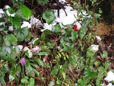 雪をかぶったショウジョウバカマとツバキ