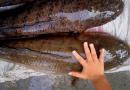 Panduan Lengkap Usaha Ternak Ikan Gabus Lokal Bagi Pemula