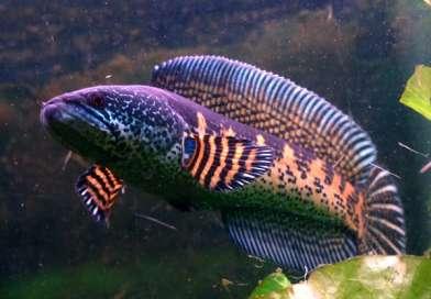 Keren dan Eksotik! Inilah 11 Jenis Ikan Gabus atau Channa Yang Populer