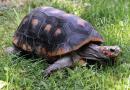 Kura-kura Cherryhead Si Kura-kura Berkaki Merah