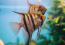11 Ikan Hias yang Cocok Dipelihara di Akuarium Ukuran 30 cm!!